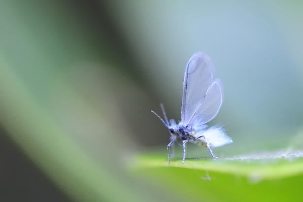 白い雪虫(トドノネオオワタムシ)が北海道で大量発生!?生態