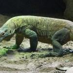 コモドオオトカゲが人や水牛まで食べる!?【動画】大きさ、毒の強さがヤバイ!