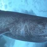 深海のオンデンザメが巨大すぎ!!【動画】大きさ、寿命もハンパないぜ!!