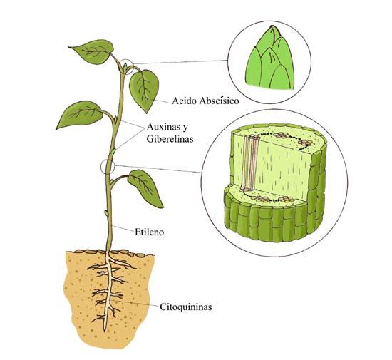 Esquema de algunas hormonas vegetales