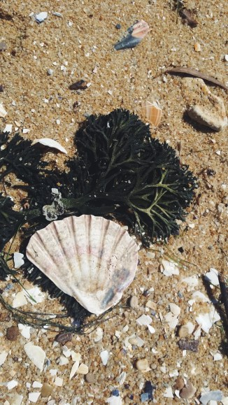 A smooth scalloped seashell arranged atop some seaweed