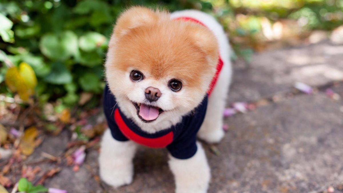 """Murió Boo, el """"perro más bonito del mundo"""""""