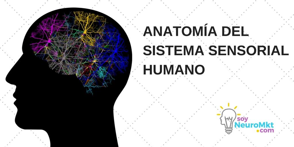 Anatomía del Sistema Sensorial Humano