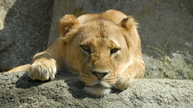 ライオン雌1