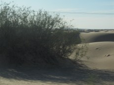 Miles of sand dunes and I find a bush!