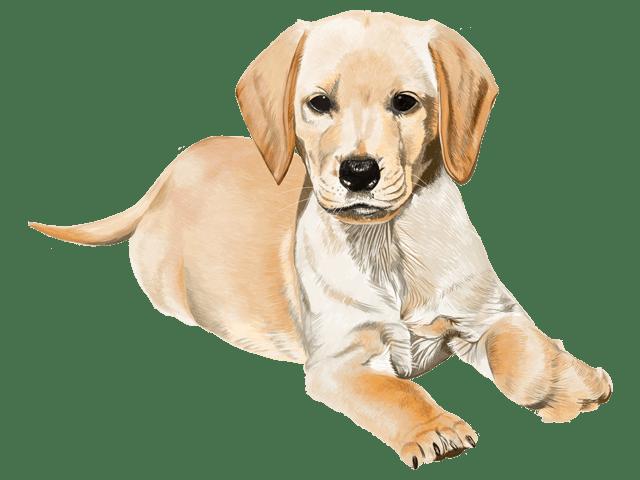 犬,ラブラドール
