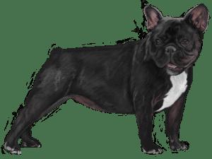 犬(フレンチブルドッグ)
