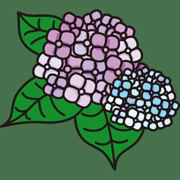 植物 あじさい(カラー)