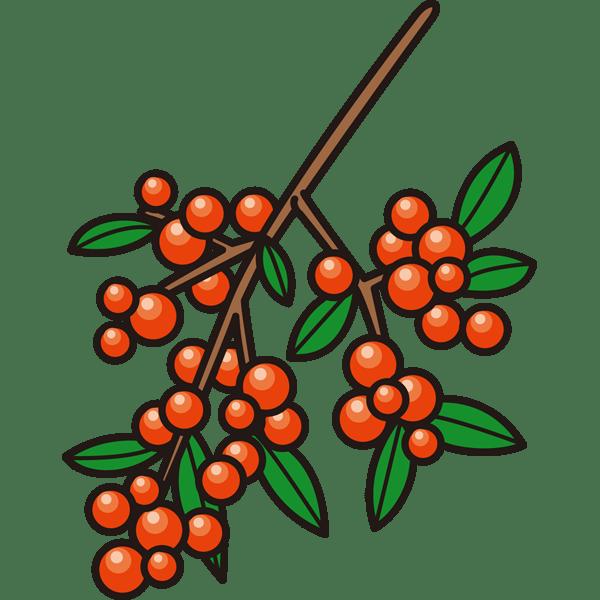 植物 ナンテン(カラー)