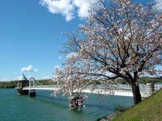 狭山湖の桜写真1