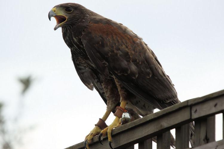 Harris Hawk - Woburn Safari Park
