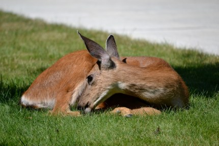 Deer taking a rest in a Snoqualmie Ridge lawn. Photo by Lea Goodwin