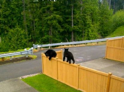 Whoops.  Now the bear cub has to get down off that fence.