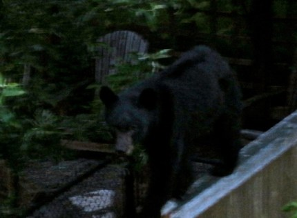Bear seeking out leftover pizza on Douglas Ave near SE Carmichael Street in Snoqualmie