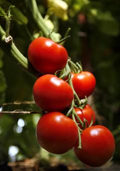 fd.Tomato.54.rwh.8/9/06