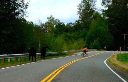 Cows share Reinig Road with local biker, 8/17/2013