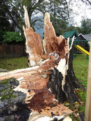 Sunday's wind took down large tree in North Bend 9/28/13. Photo: Sally Rankin-Gabel