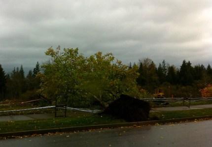 Tree down on SE Swenson Drive on Snoqualmie Ridge, 11/2/13