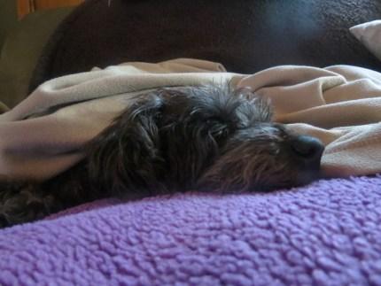 Lola under her favorite blanket, in her favorite spot.
