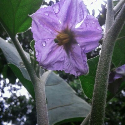 Looking into the sky from earth, i met her  my first flower on my brinjal plant..(Vishnu Raju)