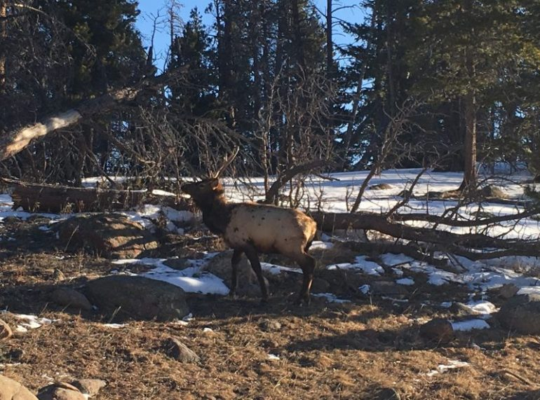 Big elk standing in a snow free clearing