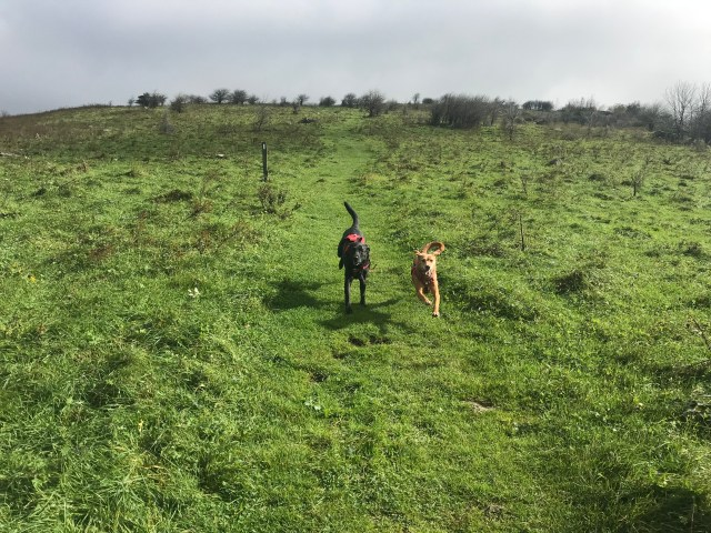 Two labradors, one black and one brown, running happily down the green hill side.