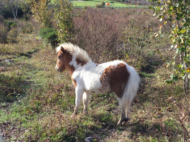A small brown and white pony blocks the Appalachian Trail