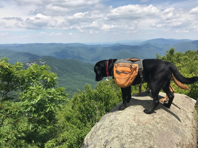 A backpack wearing black labrador retriever standing on a large boulder, overlooking the valley and mountains beyond.