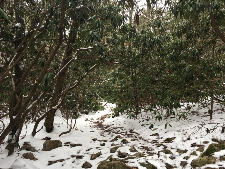 Huge Rhododendron trees create a tunnel for a snow covered rocky trail