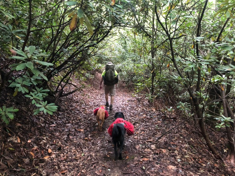 A male hiker and 2 labradors, all 3 wearing backpacks and trekking under a tunnel of large rhododendron shrubs