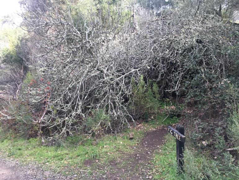 Silver grey bushy tree at the base of a narrow hiking trail