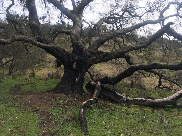 A large, black, leafless tree stands alone beside the trail