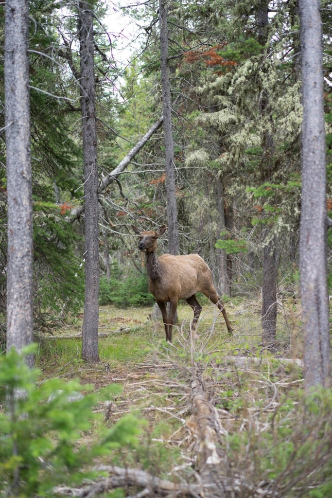 Mama elk standing a few yards off of a trail.