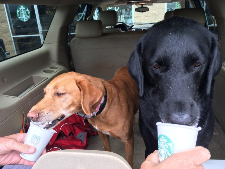 Dogs in the back of an SUV licking whipped cream out of Starbucks paper cups.