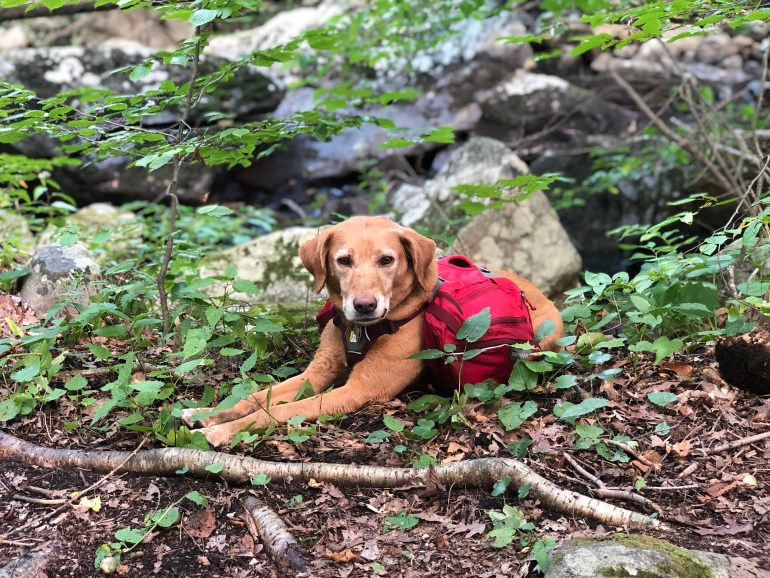 A brown dog wearing a red backpack and laying in the woods.