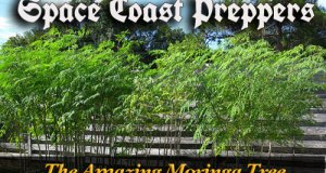 More Information on the Amazing Moringa Tree- Space Coast Preppers