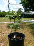 Baby picture of the tomato plant, which my friend Lane brought to me on his visit!