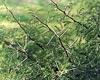 https://i2.wp.com/spacedaily.com/images/karoo-thorn-tree-weed-sm.jpg