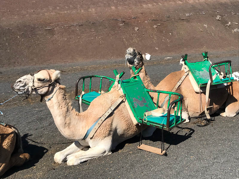 Riding a camel has to be one of the coolest (and most fun for kids) ways to see the volcanoes of Lanzarote