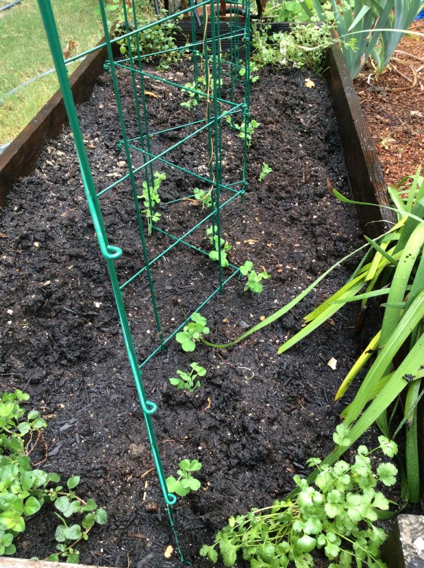 October in the garden – time to plant peas