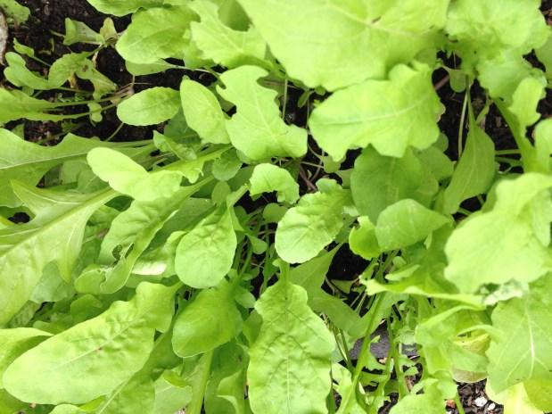 November in the garden – salad greens, broccoli, peas, carrots, artichokes