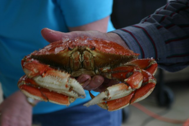 Dungeness Crab - by brandita b 2007