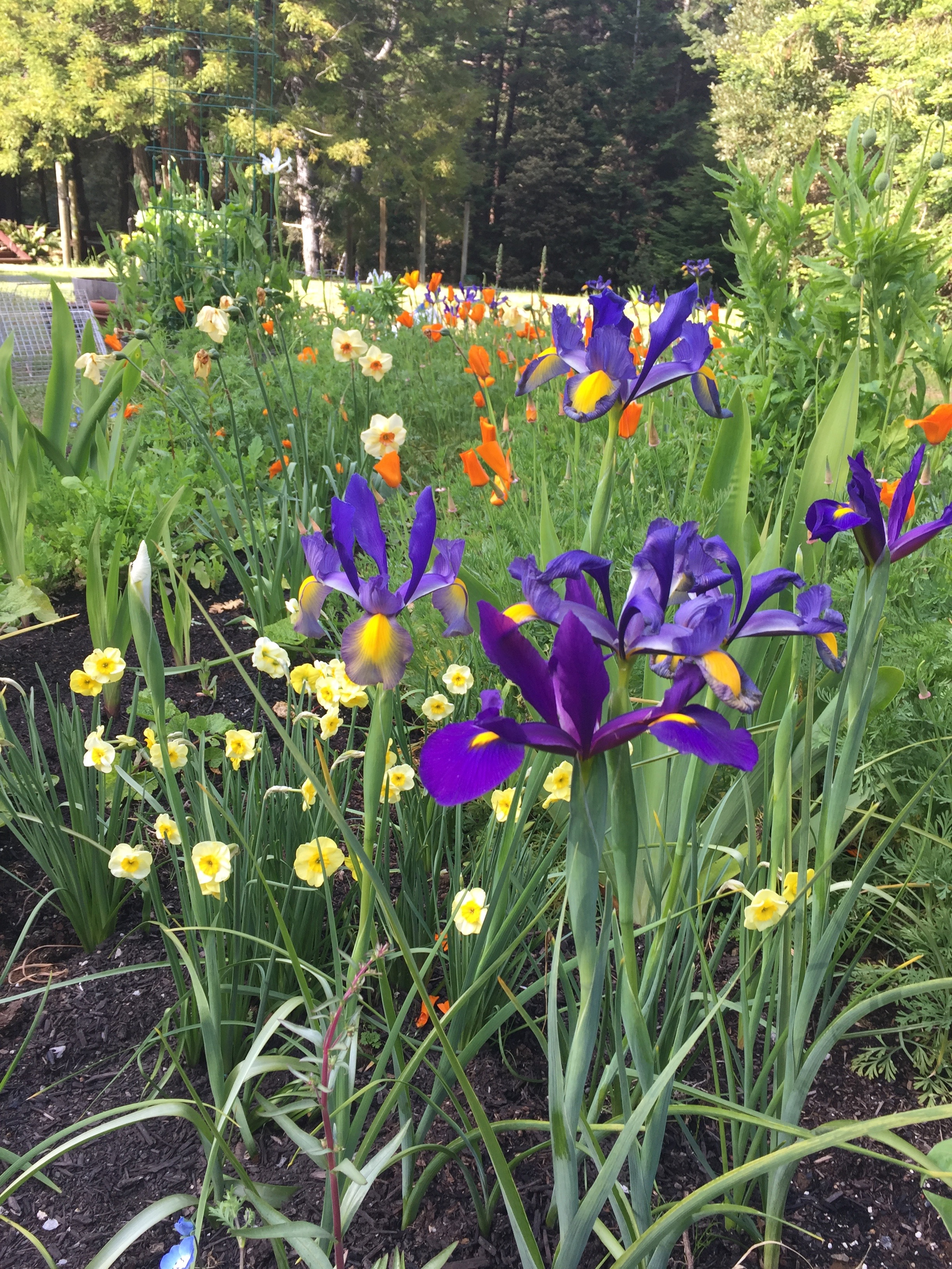Last of the Daffodils and Siberian Iris