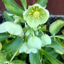 Holly Leaved or Corsican Hellebore