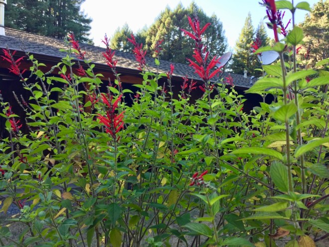 Salvia elegans also called 'Pineapple Sage' this one is especially loved by the hummiingbirds