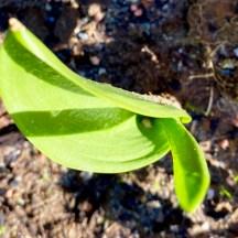 emerging tulip