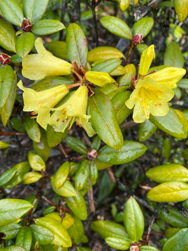 Rhododendron 'Top Banana'