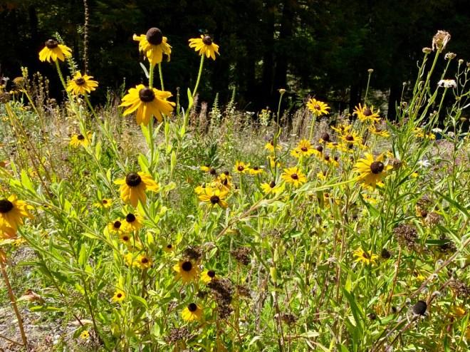 Pollinator Garden - August 2020