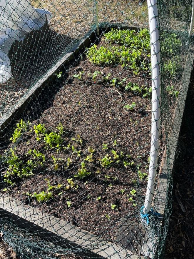 Lettuce, Arugula, and Carrots