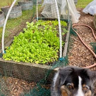 Arugula and Lettuce